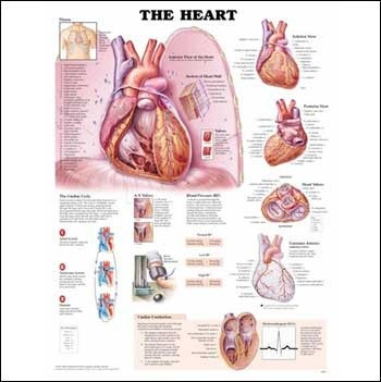 Education Scientific Products  - The Heart