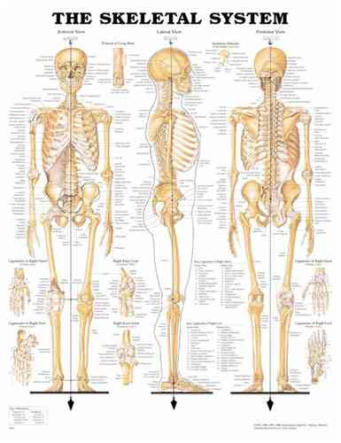 Education Scientific Products  -  The Skeletal System