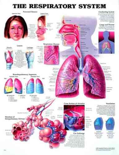 Education Scientific Products  -  The Respiratory System