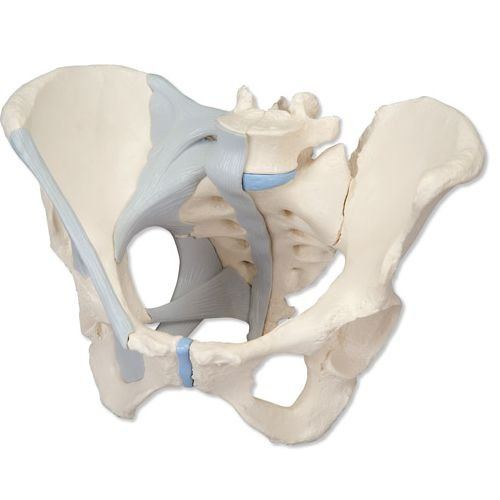 UK 3B Female Pelvis with Ligaments