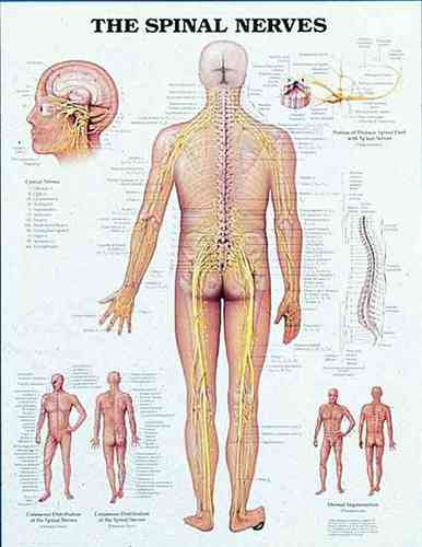 Education Scientific Products  -  The Spinal Nerves