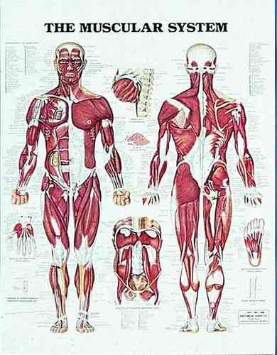 Education Scientific Products  -  The Muscular System