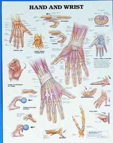 Education Scientific Products  -  Hand and Wrist