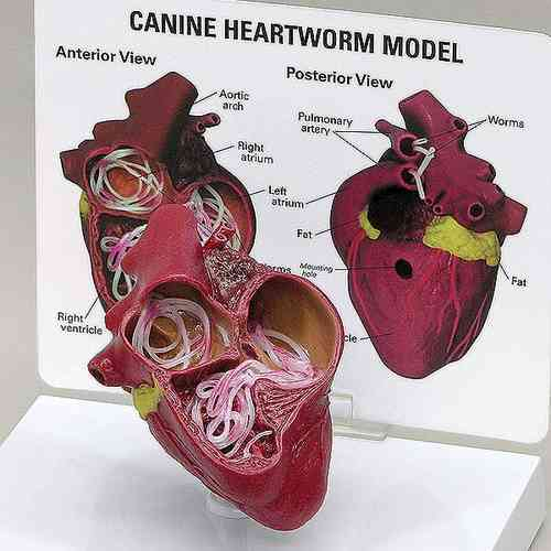 Canine Heart with Heartworm