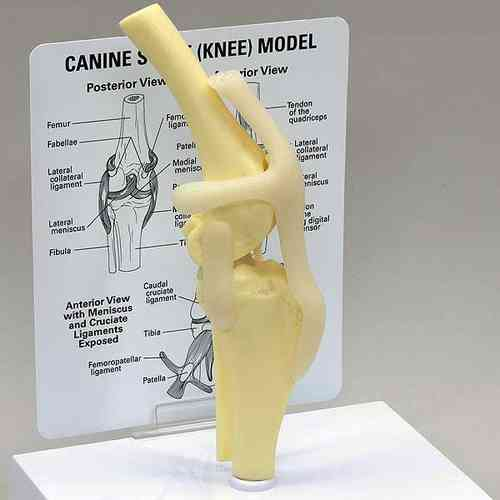 Canine Knee Teaching Model