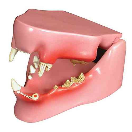 Feline Jaw Teaching Model