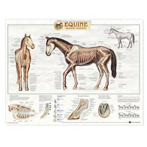 Anatomical Chart - The Equine Skeleton 500 x 1000mm